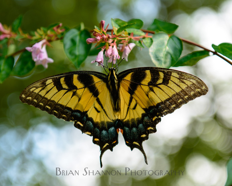 Yellow Swallowtail closeup