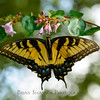 Yellow Swallowtail closeup