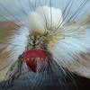 White marked tussock moth caterpillar