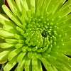 Lime green Chrysanthemum