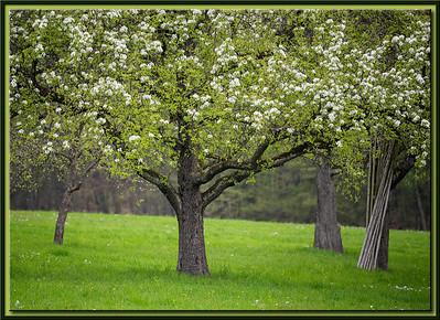 Obstbaumwiese im Frühling