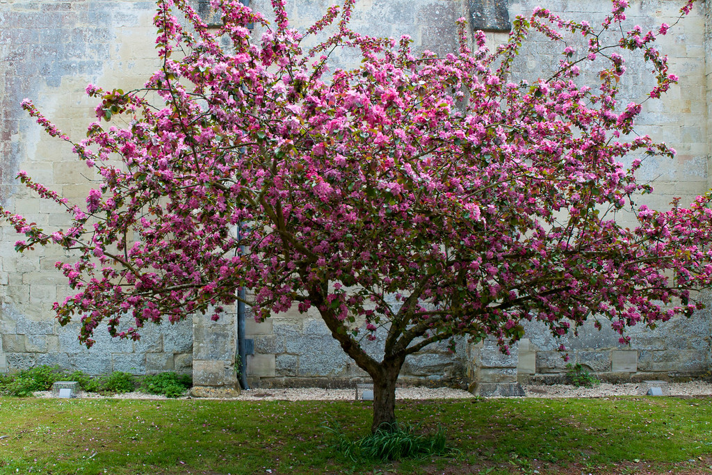 Flowering Cherry in front of Salisbury Cathedral