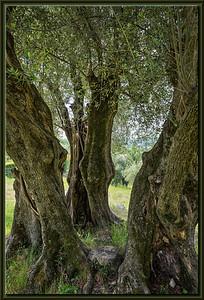Olivenbaum-Gruppe