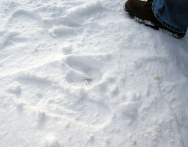 Moose footprint left from his early morning stroll