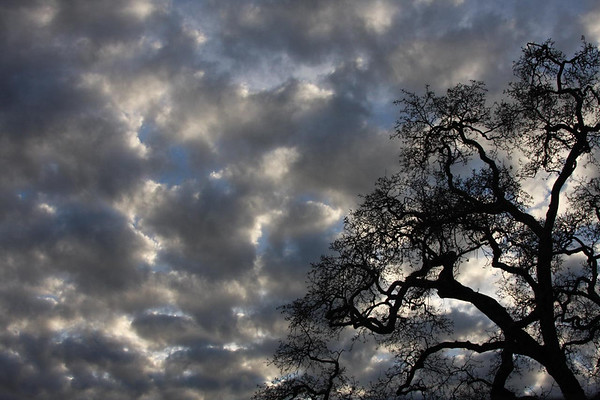 Oak tree & late afternoon sky, Novato, CA