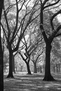 Central Park Trees, NYC.