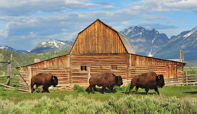 """Grand Tetons, Wyoming. I have a small narrow horizontal image of the """"Three Buffalo"""" on canvas. This image can be found on the walls of the Park City Medical Center."""