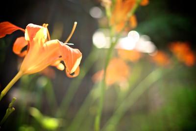 Daylillies.