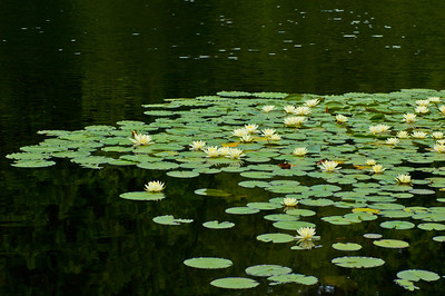 A large cluster of lily pads on a small pond in an urban park.