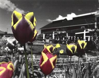 Greenbank Tulips I
