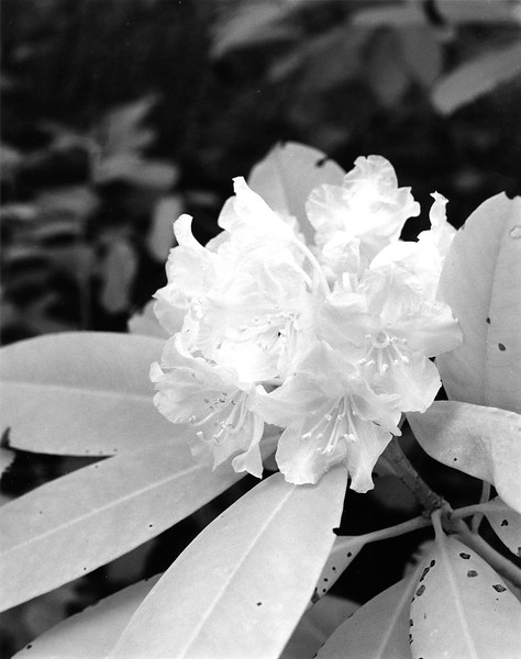 Kettles Trail Rhododendron  I