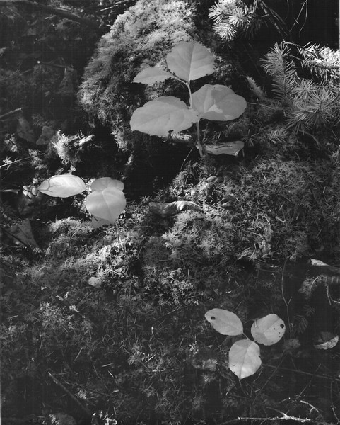 Mosses start to revive in the slightly warmer air of April along Raider Creek. Shot with Rollei IR400 film in 8 sec exposure.