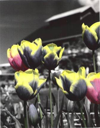 Greenbank Tulips II
