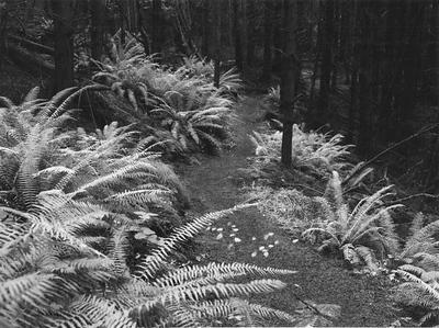 Cedar Grove Ferns