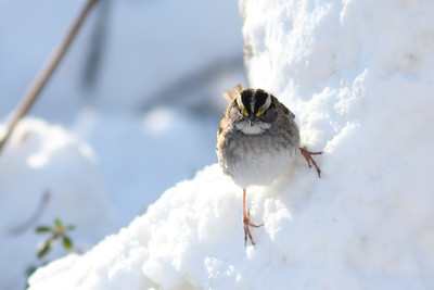 A white throated sparrow smizes for the camera. Snow!