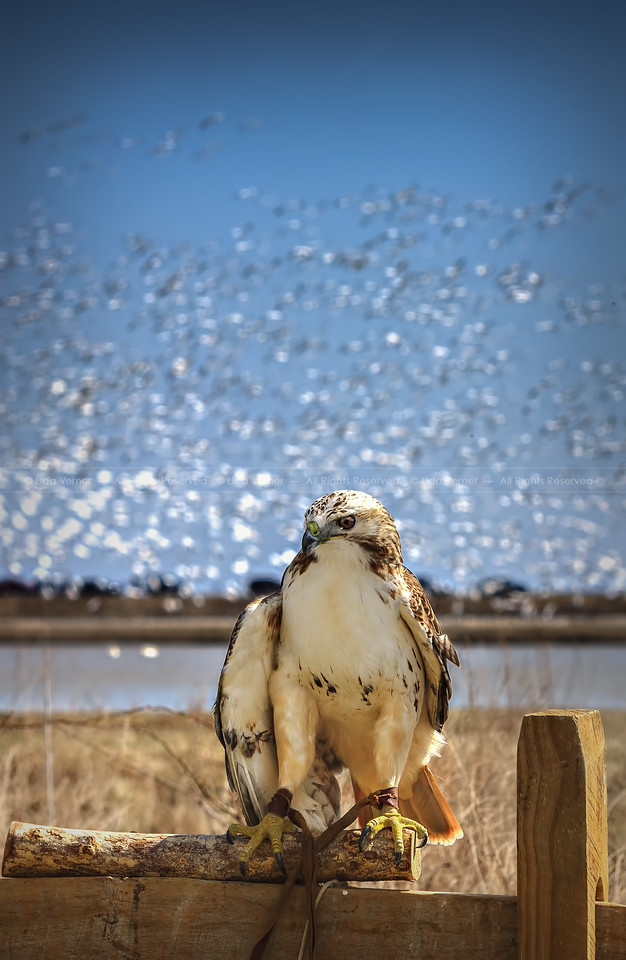 Red Tailed Hawk at Eagle Days in the Blackwater National Wildlife Refuge