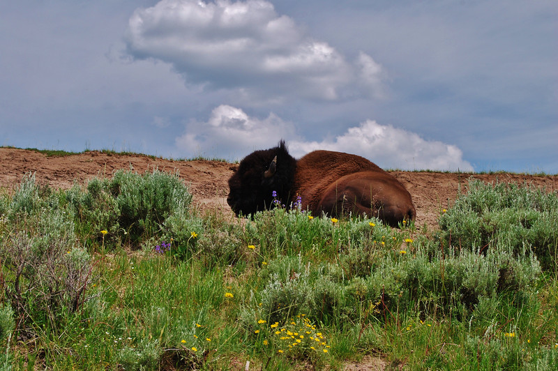 Resting Buffalo by Shalayne Smith-Needham
