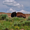 Resting Buffalo by Shalayne Smith-Needham