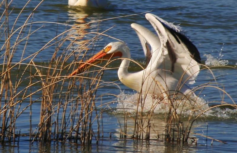Pelican at Benson Marina by Steven Smith