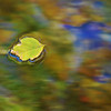 Floating Leaf by Shalayne Smith-Needham
