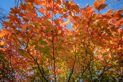 Backlit Orange Maple