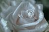 DSC_8372 Rose_DxO-Edit