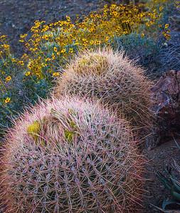 Anza Borrego Barrel Cactus Brittle Brush