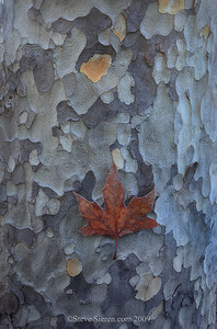 Sycamore leaf and trunk in the Santa Monica Mountains