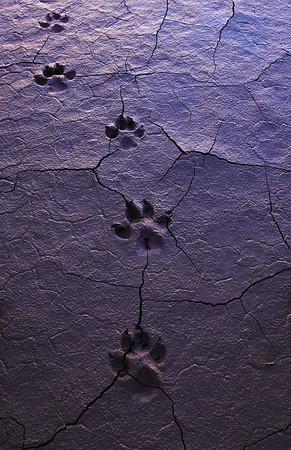 coyote_tracks_Death_Valley