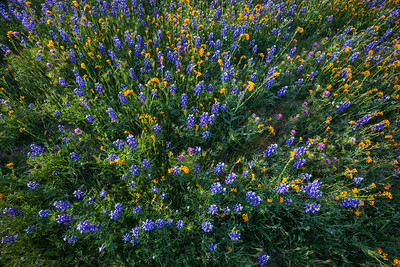 Wildflowers Bear Mountain Lupine Owls Clover California Fiddlenecks