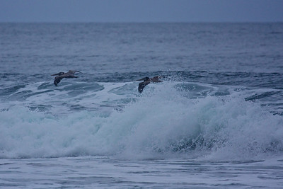 Pelicans have their own way of riding the waves.