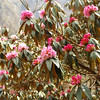 Rhododendron Blossoms / Nepali Spring