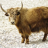 Mr. Yak from Kyanjin Gompa, Upper Langtang Valley