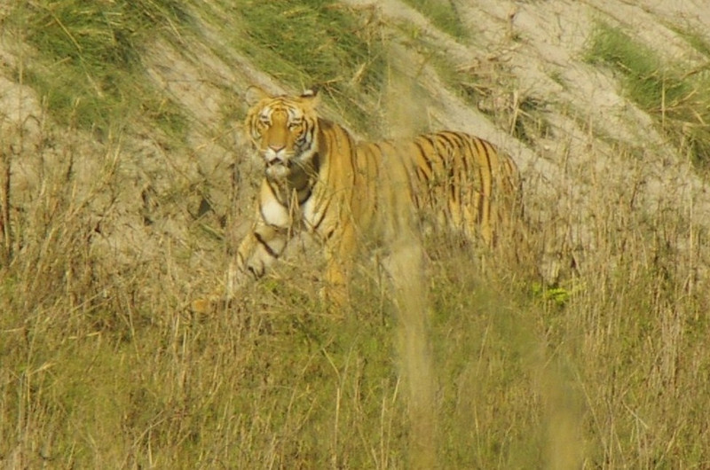 Royal Bengal Tiger in Royal Bardia Nationalpark. After endless hours of doing nothing and killing time we got to see two tigers in the wild!