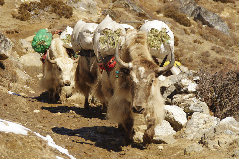 A herd of yaks on the way to Machermo