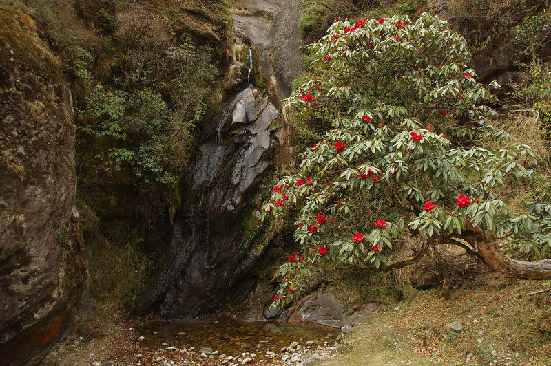 Rhodendron tree near Bengkar