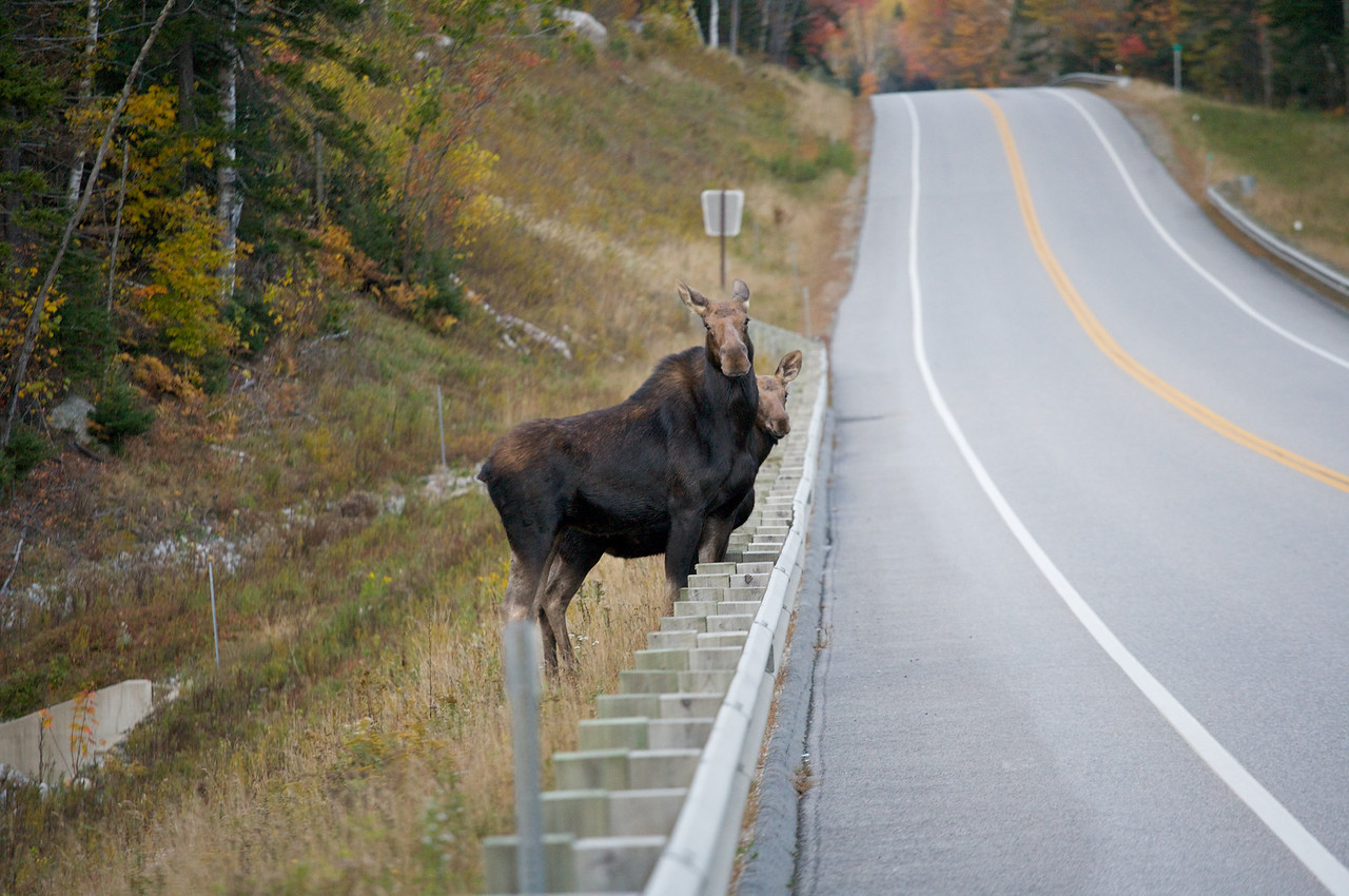 Moose getting ready to cross the road near Franconia, NH