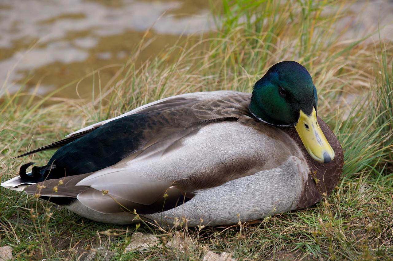 A duck.