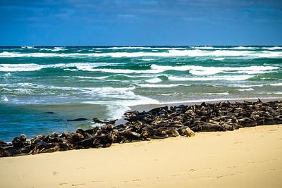 Seals on the Beach in Welfleet - Tom Sloan