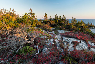 Blueberry bushes turn bright red in the fall. Schoodic Point, Acadia National Park.