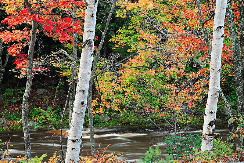 Birch Trees Along the Kancamagus Highway, New Hampshire