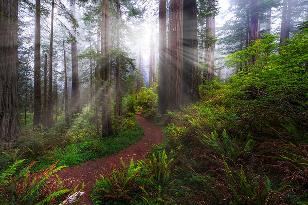 Trail Of Light And Mist Into Nowhere - Redwoods,  California