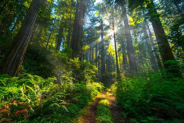 Trail Of Eternity - Redwoods, California