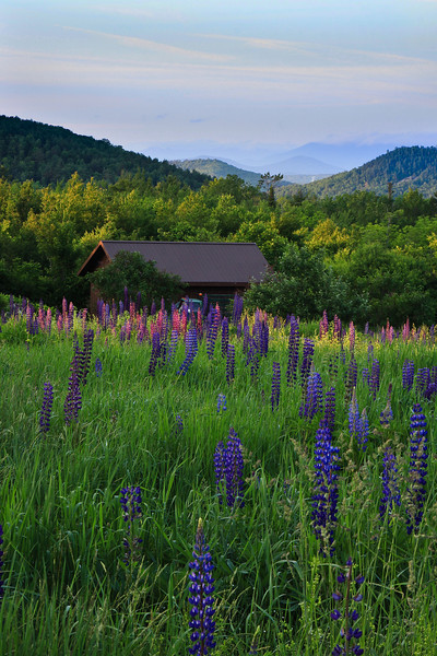 Lupine Field, Sugar Hill, NH
