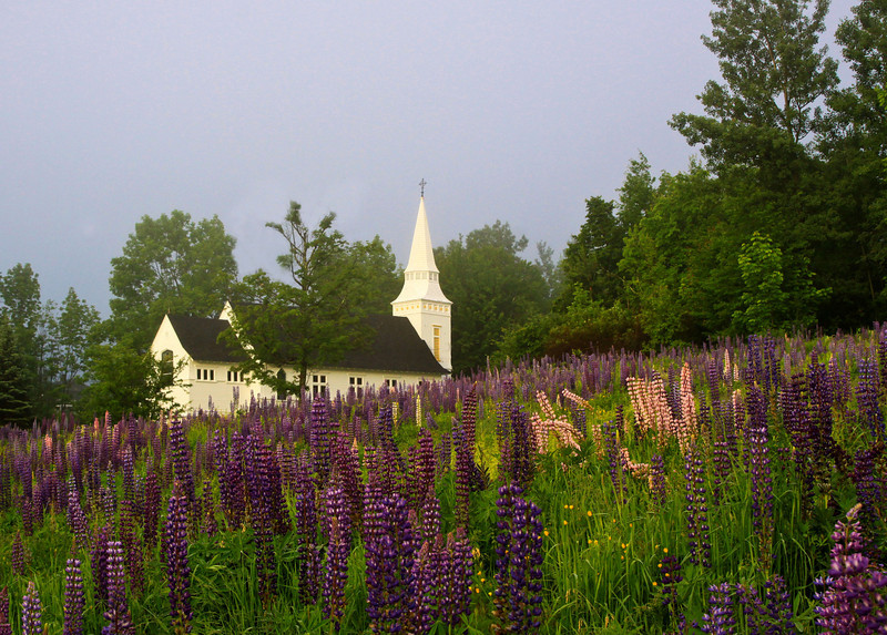Lupine meadow at St. Matthew's Church in Sugar Hill, NH.