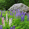 Lupine Field with Rock