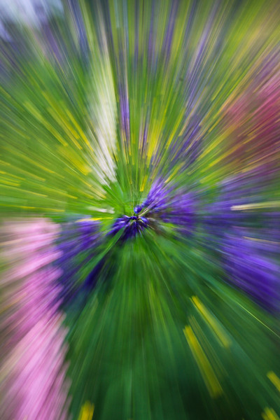 Lupine Burst<br /> (special effect achieved by quick zoom)