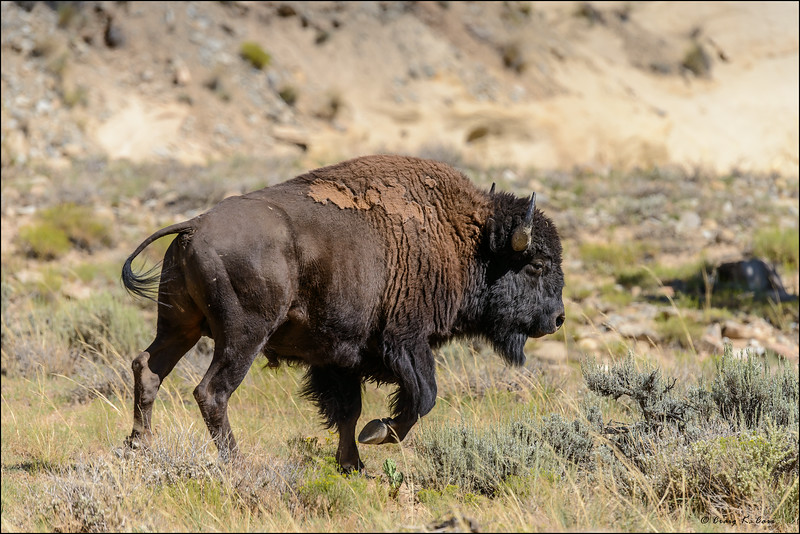 Henry Mountain Bison