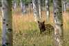 Black Bear in the La Sal Mountains - 08/11/2014