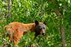 Black Bear in the La Sal Mountains - 08/15/2014